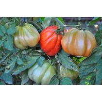 10 Semillas De Jitomate Canestrino De Lucca Heirloom Tomate