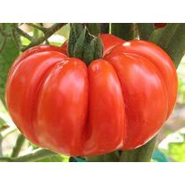 15 Semillas De Jitomate Costoluto Fiorentino Heirloom Tomate