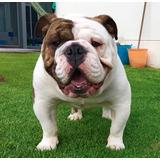 Bulldog Ingles Blanco Y Rojo Brindle Monta, Calidad Campeon