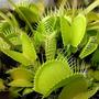 Plantas Carnívoras Dionaea Muscipula