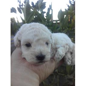 Ultimo Cachorro Caniche Mini Mini Toy Macho Blaco
