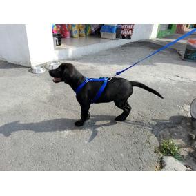 Pechera Cachorro Labrador X Con Correa