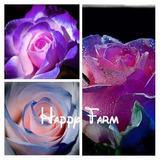 15 Sementes Rosas Exóticas Tipos E Cores - Frete Grátis