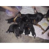 Vendo O Permuto Cachorros Pinscher Miniatura Machos