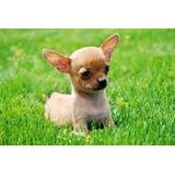 Chihuahua Miniatura De 5 Meses