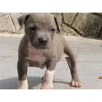 Cachorro American Pitbull Terrier Macho