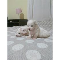 Veterinario Vende Cachorros Malteses Con Garantia Sanitaria