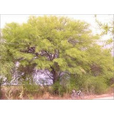 Algarrobo Blanco. Planta Nativa 1,60m. Despacho Gratis