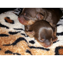 Cachorros Yorshire Mini Color Chocolate