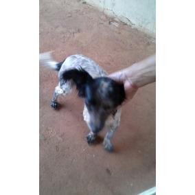 Cachorro Da Raça Pulso Com Mistura Olandesa.idade 1 E 8 Me