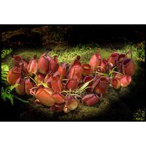 Sementes Planta Carnivora Nepenthes Ampullaria Mix P/ Mudas