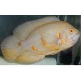Oscar Tigre Y Albino Adultos De 12 A 15cm