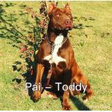 Filhote Fêmea American Pit Bull Terrier .