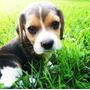 Cachorros Beagle. Listos Para Entrega.