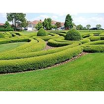300 Sementes Cedrinho Cedro Cerca Viva Muro Verde Labirinto