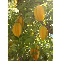 Arbolitos Litchi-carambola Y Macadamia