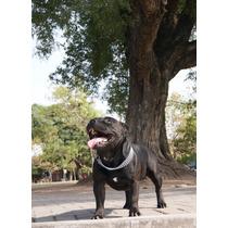 Staffordshire Bull Terrier : Stud : Cachorros