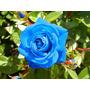 Semillas Rosa Azul Flor Exotica Rosa Azul Divinas!