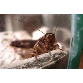 Barata Cinérea 100 Un. Geckos, Dragão Barbado, Pogona Sagui
