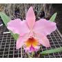 Muda Orquídea Blc. George King Serendipity