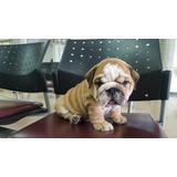 Bulldog Ingles De Raza Pura