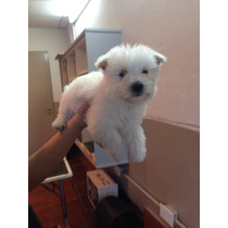 Venta De Cachorros West Highland White Terrier ( Westy) Fca