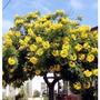 Tipuana Tipa Plantin De Árbol Super Resistente Bellas Flores
