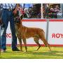 Cachorros Pastor Belga Malinois Línea Campeones Pedigree