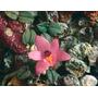 Rara Mine Orquídea Constantia Cristinae