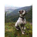 Perro Boxer Para Cruza