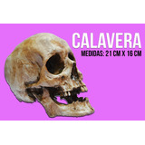 Calavera, Craneo Humano Imitacion - Tamaño Real -16 Cmx21 Cm
