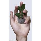 Plantula Raiz Cruda Cercas Vivas Limoncillo Por Encargo
