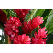 Heliconia Jengibre Roja ~ Floral