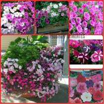 Sementes Da Flor Petúnia Multiflora Anã Sortida Fret Grats