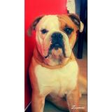 Bulldog Ingles Exelente Linage, Busca Novia