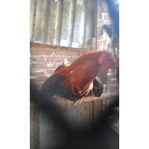Gallos De Pelea Muy Finos