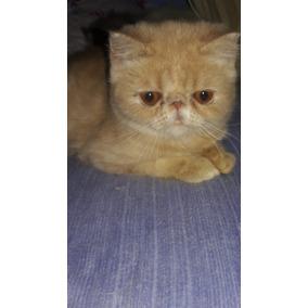 Gato Exótico Pêlo Curto Padrão Show