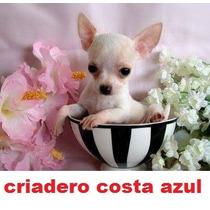 Chihuahua Mini De Bolsillo Machos Criadero Costa Azul