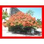Flamboyant Salmão Delonix Flor Árvore Sementes Para Mudas