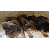 Doberman Cachorros Negros Y Rojos Raza Pura