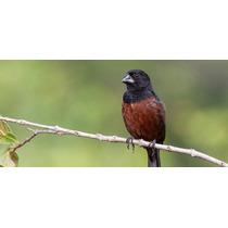 Sementes Capim-navalha P/ Pássaro Curió Verdadeiro