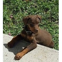 Cachorros Doberman Con Cpr De Fcm, Vendo O Cambio.