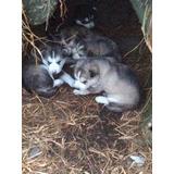 Cachorros Husky Siberiano, Excelentes Ejemplares