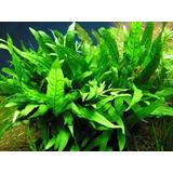 Planta Para Acuario Microsorium Pteropus Helecho De Java
