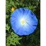 Semillas De Enredaderas De Flores Azules