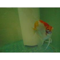 Acará Bandeira Koi Albino - Filhotes De 03 A 04 Cm C/ 3meses