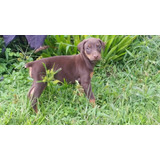 Hembras Doberman Disponibles