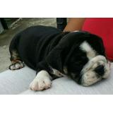 Hermosa Cachorr Bulldog Inglés Black Tri Posible Chocolate