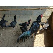 Ovos Galados De Galo Raca Tailandes Negro Puro
