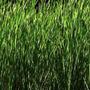 Sementes De Aveia Preta Para Plantio 20 Kg